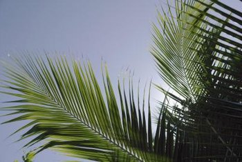 When pruning palm trees, be careful not to damage the trunk.
