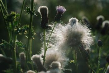 Thistles produce puffy, white seeds that float on the wind.