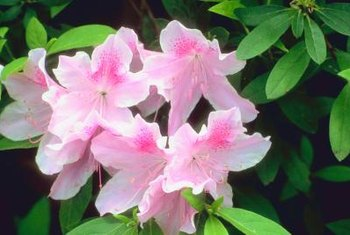Holly-tone naturally fertilizes azaleas and other acid-loving plants.