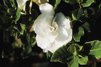 Gardenias thrive in partially shaded conditions.