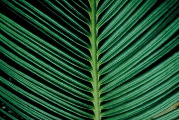 Cycads date back as far as 125 million years.