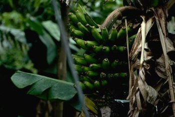 A banana's large, flat leaves easily catch the wind.