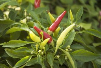 Keep hot and sweet pepper plants separated in the garden to avoid cross-pollination.