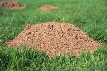 Moles dig to find food and pile the tailings in unsightly molehills.