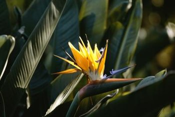Orange and blue bird of paradise brings year-round dazzle to tropical settings.