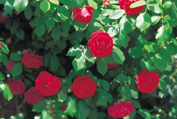 Rose bushes need adequate space to keep the foliage dry.