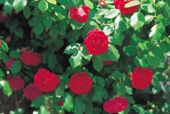 Healthy rose plants produce dark green leaves.