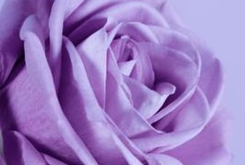 Freshly cut, shipped or purchased lavender roses will benefit from proper care.