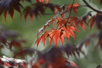 Vine maple has long, vine-like branches that can be pruned to stimulate new growth.