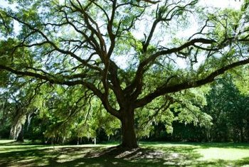 Shade trees may fall prey to fungal diseases that can be controlled with lime-sulfur fungicides.