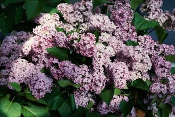 Lilacs can regrow after heavy pruning, fire and even partial root removal.