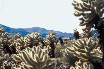 Cholla can be a predominant species in a desert plant community.