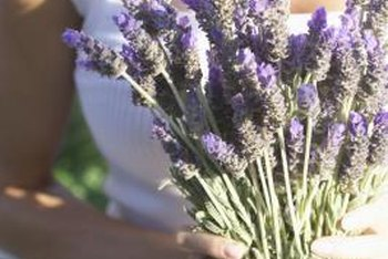 Lavender is a showy shrub that fills your home with color and fragrance.