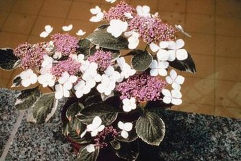 Hydrangea blooms are cut and used in flower vases.