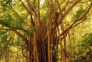 Aerial roots are the distinctive characteristic of banyan-style trees.