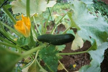 Zucchini blooms need bees to pollinate the flowers.