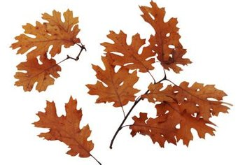 Oak trees range naturally nationwide, while sweetgums are southeastern Unites States natives.