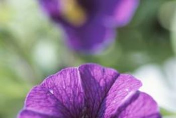 Large-flowered petunias can be up to 4 inches wide.