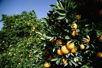 Most citrus trees are self fruitful, needing no pollenizer.