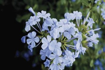 Plumbago has been used to heal ailments as well as provide ornamental beauty.