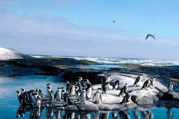 Scientists who study penguins are called ornithologists.