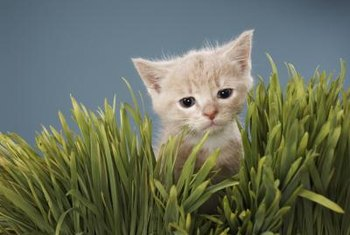 Organic grass grown indoors can distract cats from houseplants.