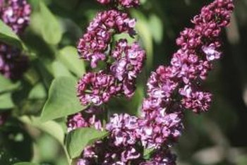 Lilacs generally require five or six hours of sunlight daily to produce blooms.