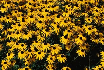 Rudbeckia flowers thrive in full sun exposure.
