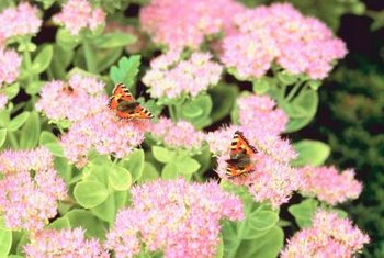 Leave the fall-blooming showy sedum flowers on the plant through winter, as they remain attractive.