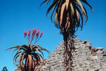 Some varieties of aloe can grow several feet tall.