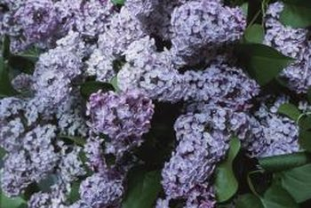 Lilac bushes are simple to grow but need cool weather.