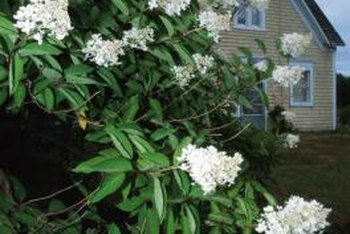 Blooming mock orange saturates its surroundings with delightul fragrance.