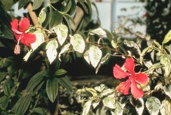 Swamp hibiscus flowers occur on the terminal ends of stems and on lateral shoots.