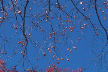 American persimmons ripen in the fall and are best after a frost.