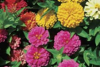 Zinnias produce blooms in several colors.