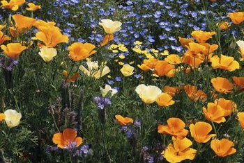 Poppies and other wildflowers supply gardens with low-maintenance plants.