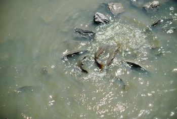 Fish can suffocate when nutrient runoff disturbs the oxygen cycle in freshwater ecosystems such as lakes and ponds.