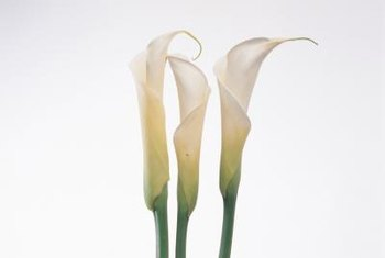 Calla lilies have a funnel-shaped flower and strong stem.