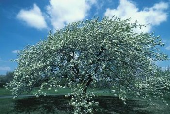 Many home orchard apple trees need little fertilizer.