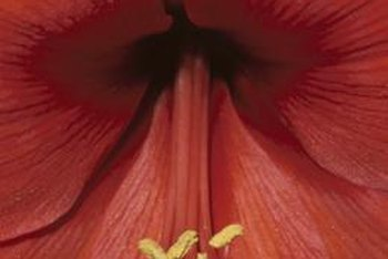 Amaryllis is poisonous to people and pets.