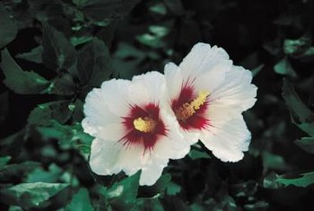 Rose of Sharon flowers may sport a darker colored throat depending upon the variety.