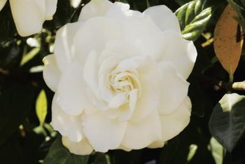 Gardenia bushes are known for lustrous, dark green foliage and fragrant flowers.