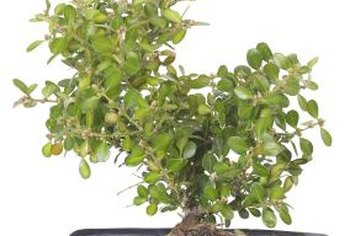 Ficus bonzai make excellent houseplants.