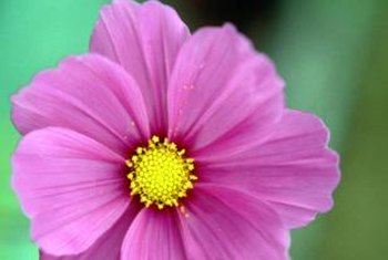Cosmos Flower Seed Germination Home Guides Sf Gate
