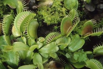 Venus Flytraps share many characteristics in common with other plants.