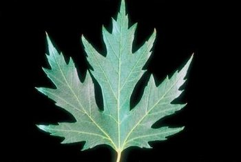 Silver maples' two-toned leaves shimmer in a breeze.