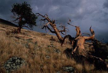 In spite of harsh growing conditions, some bristlecone pines were alive during ancient Egyptian times.