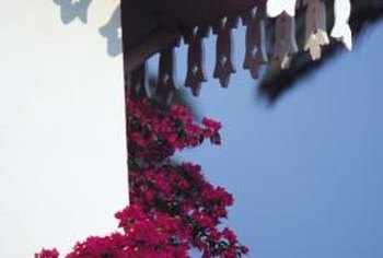 Bougainvillea is a woody, evergreen vine native to Brazil.