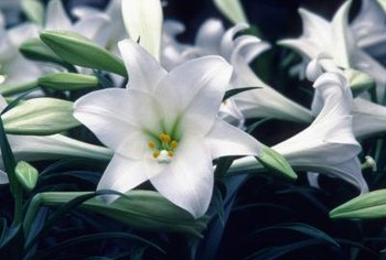 Trumpet lilies come in most colors, including pure white.