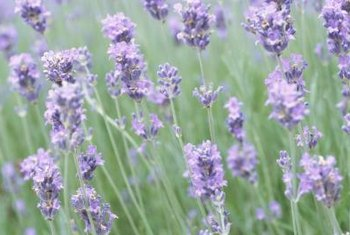 Fragrant lavender attracts butterflies, bees and other pollinators.